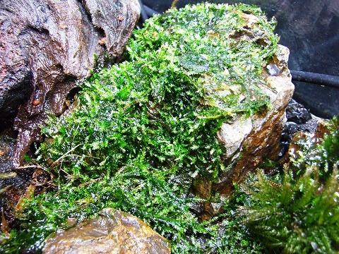 ウィローモス 水上葉