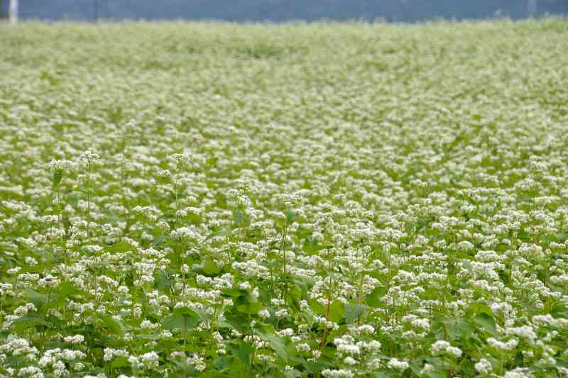 蕎麦の花 (2)