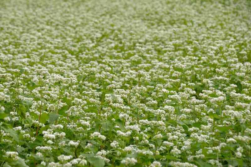 蕎麦の花 (3)