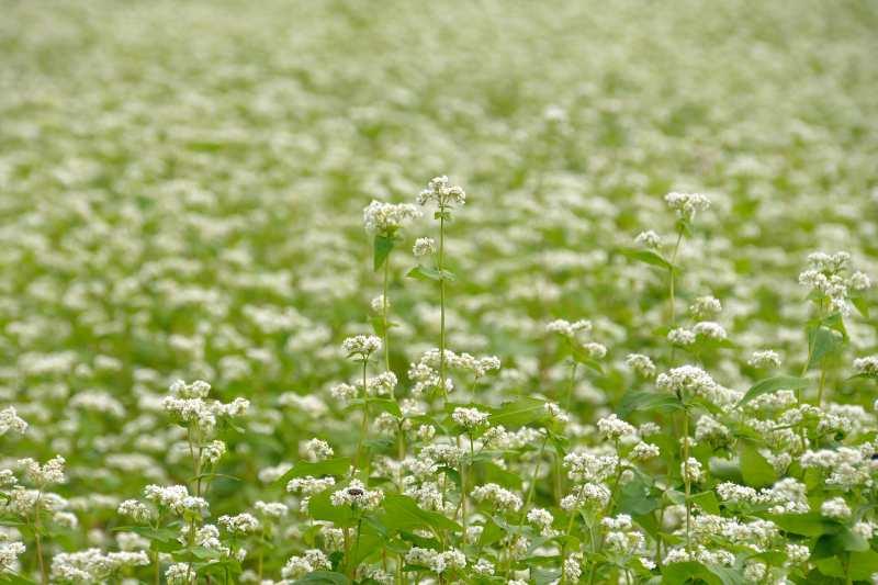 蕎麦の花 (4)