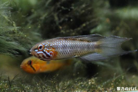 リネアタ.アタバポ♂33