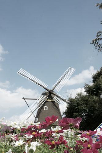 20151012風車とコスモス