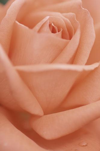 20151018薔薇2ピンク