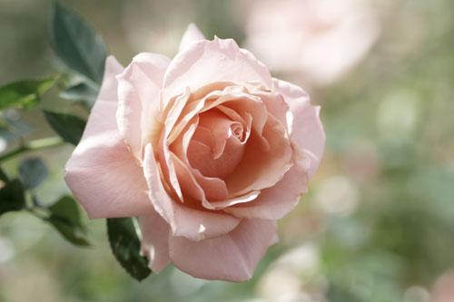 20151018薔薇4