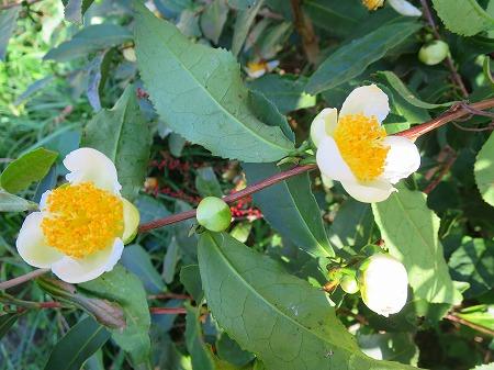 151022 べにふうきの花3