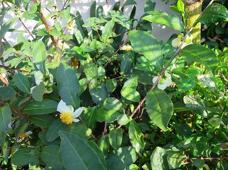 151022 べにふうきの花1