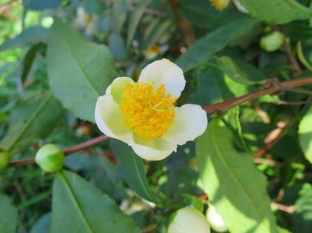 151022 べにふうきの花2