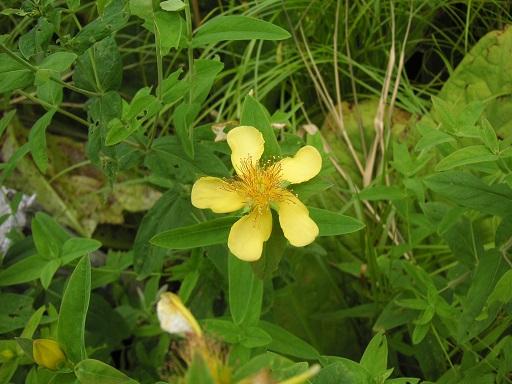 尾瀬の花3