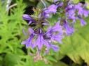 尾瀬の花4