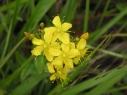 尾瀬の花7