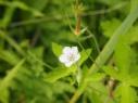 尾瀬の花8