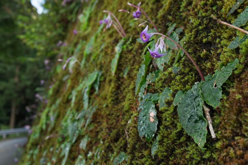 イワタバコ Conandron ramondioides