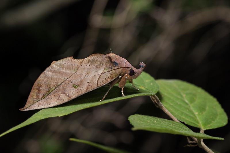 アケビコノハ Eudocima tyrannus