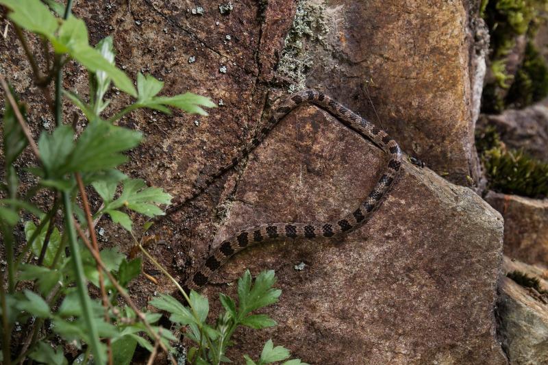 シロマダラ Dinodon orientale