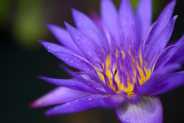 パープルクラウド 紫雲