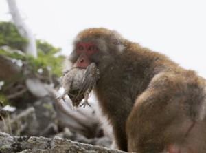 猿が雷鳥を捕食jpg