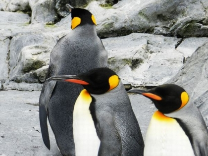 Antarctic_nankyoku_pengin33.jpg
