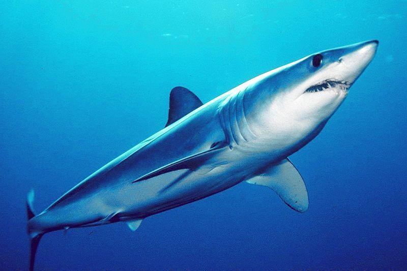 東京湾で「アオザメ」が定置網にかかる…体長2.5メートル