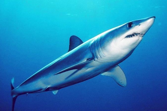 pub_aozame_shark_noaa.jpg