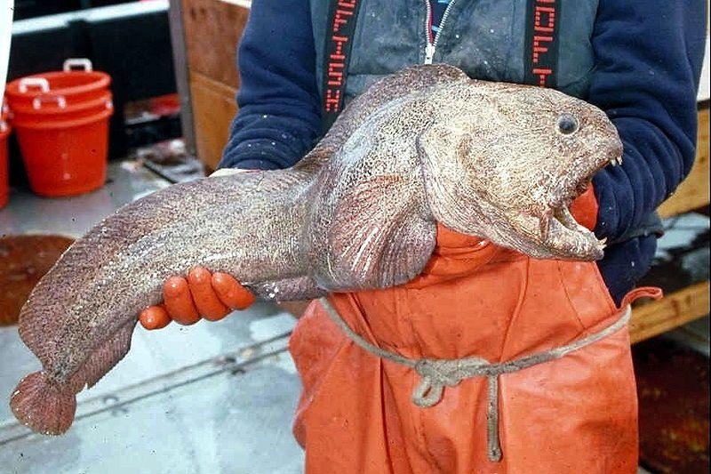 北海道・知床で深海魚の「オオカミウオ」が釣り上がったと話題に