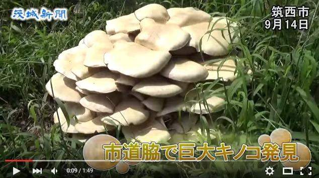 茨城の筑西市の道路脇で「巨大キノコ」を発見!