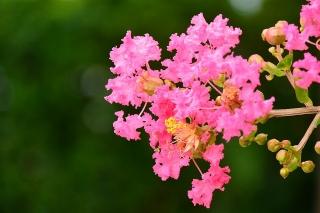 花 サルスベリ