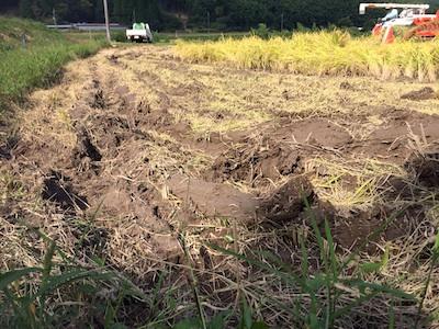 稲刈りなのに田植えみたい