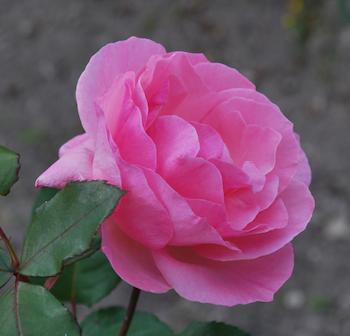 ピンククィーンエリザベス