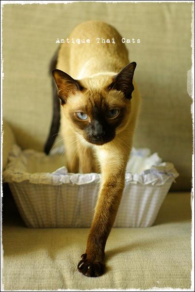 腹時計 シャム猫 タイ 原種 Siamese cat Thailand แมว ไทย วิเชียรมาศ アンティークタイキャット