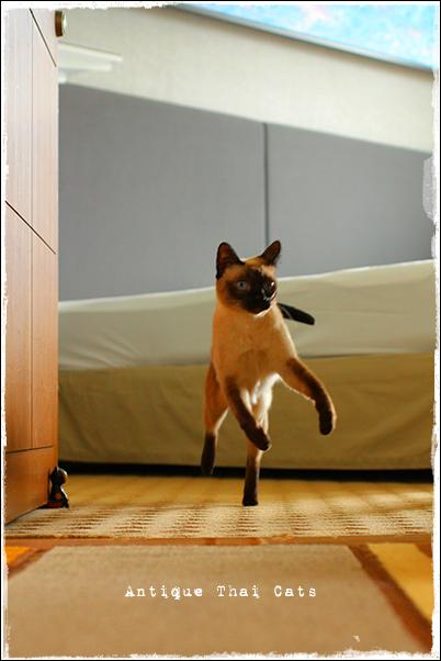 欽ちゃん走り シャム猫 タイ 原種 Siamese cat Thailand แมว ไทย วิเชียรมาศ アンティークタイキャット