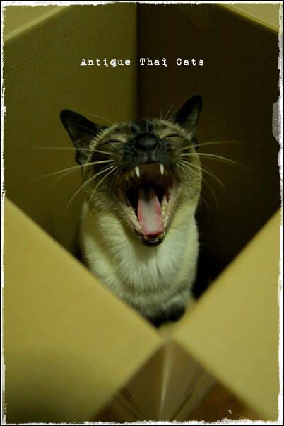 段ボール箱 シャム猫 タイ 原種 Siamese cat Thailand แมว ไทย วิเชียรมาศ アンティークタイキャット