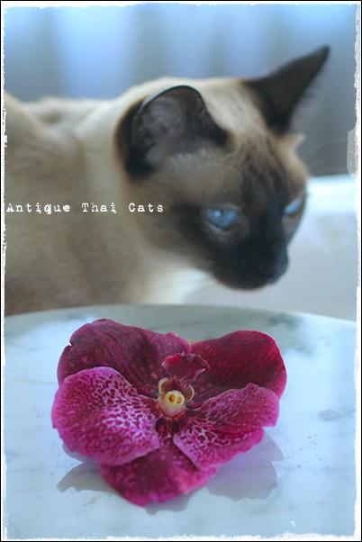 花 flowers ดอกไม้ タイ Thai ไทย バンダ Vanda แวนด้า 蘭 orchid ดอกกล้วยไม้ シャム猫 タイ 原種 Siamese cat Thailand แมว ไทย วิเชียรมาศ