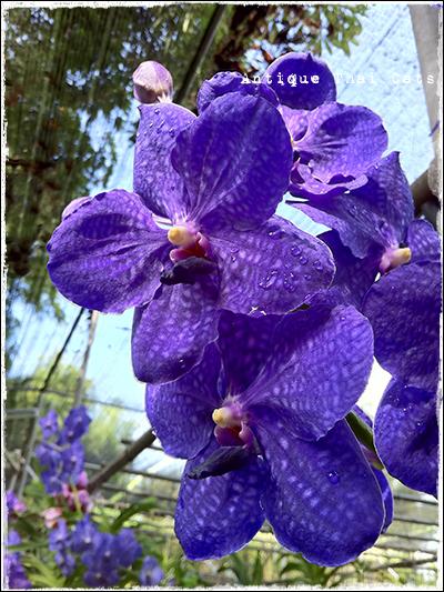 花 flowers ดอกไม้ タイ Thai ไทย バンダ Vanda แวนด้า 蘭 orchid ดอกกล้วยไม้