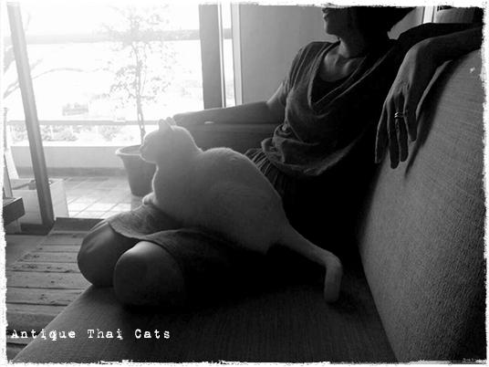 膝 猫 カオマニー オッドアイ cat khaomanee oddeyes แมว ไทย ขาวมณี アンティークタイキャット