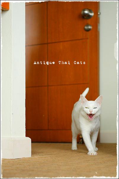 ワハハッ 猫 カオマニー オッドアイ cat khaomanee oddeyes แมว ไทย ขาวมณี アンティークタイキャット