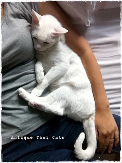 添い寝 猫 カオマニー オッドアイ cat khaomanee oddeyes แมว ไทย ขาวมณี アンティークタイキャット
