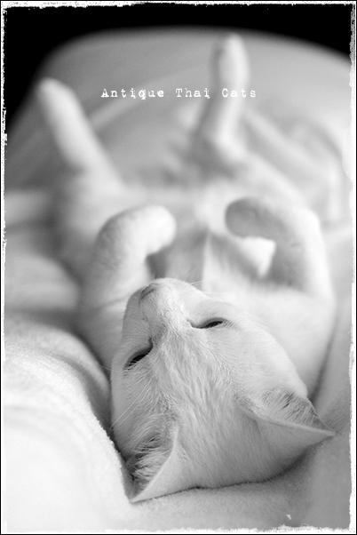 ヘソ天 猫 カオマニー オッドアイ cat khaomanee oddeyes แมว ไทย ขาวมณี アンティークタイキャット