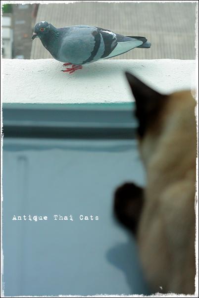 鳩 シャム猫 タイ 原種 Siamese cat Thailand แมว ไทย วิเชียรมาศ アンティークタイキャット