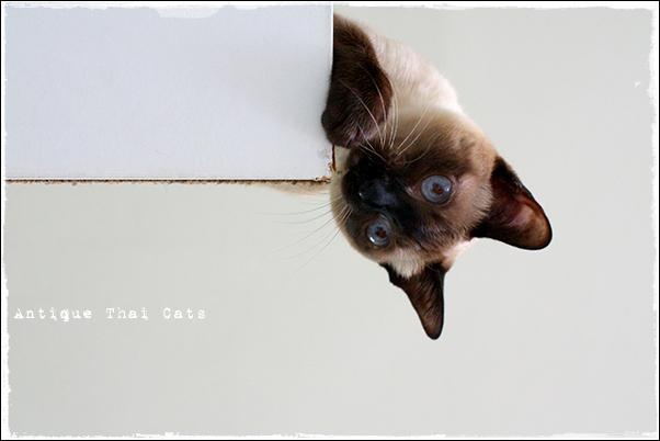 木口を破壊 シャム猫 タイ 原種 Siamese cat Thailand แมว ไทย วิเชียรมาศ アンティークタイキャット