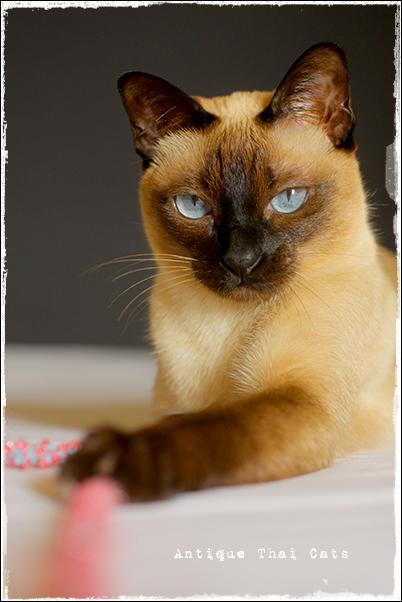 綱引き シャム猫 タイ 原種 Siamese cat Thailand แมว ไทย วิเชียรมาศ アンティークタイキャット