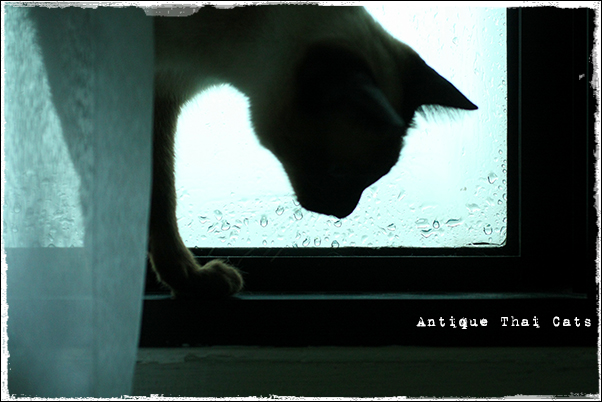 raindrops シャム猫 タイ 原種 Siamese cat Thailand แมว ไทย วิเชียรมาศ アンティークタイキャット