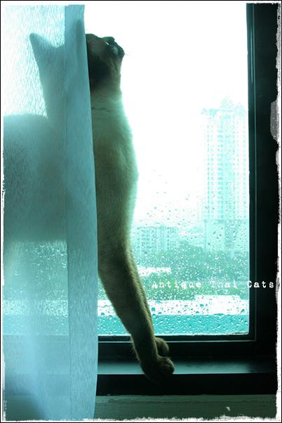 雨粒ダンス シャム猫 タイ 原種 Siamese cat Thailand แมว ไทย วิเชียรมาศ アンティークタイキャット