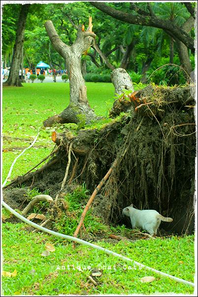 倒木 野良猫 Stray cats แมวจรจัด ヲソト猫 タイ Thai ไทย ルンピニ公園 Lumpini park สวนลุมพินี