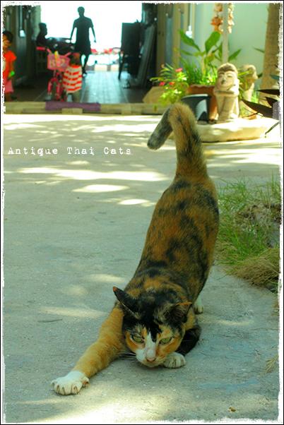 島遊び2 島猫 ラン島 Koh Larn เกาะล้าน タイ ヲソト 野良猫 地域猫 stray alley cat Thailand แมว ไทย アンティークタイキャット