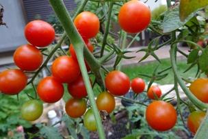15ミニトマト5