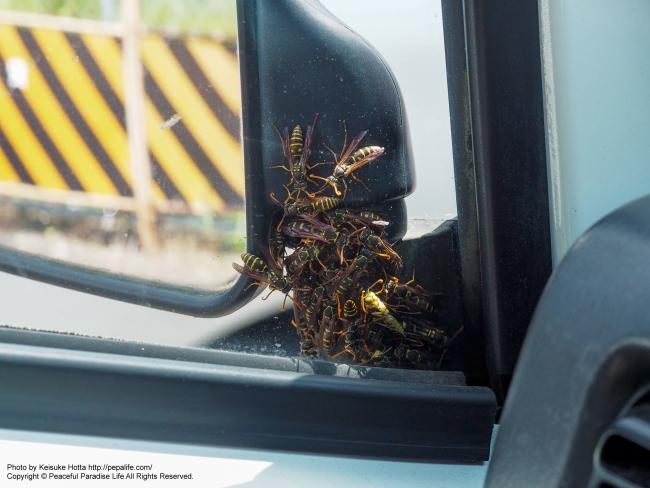 蜂に占拠された車(接写)