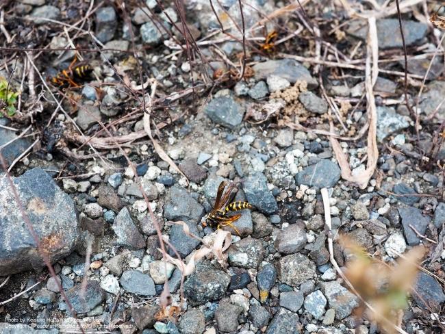 駆除されたハチ