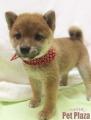 柴犬豆150707-9