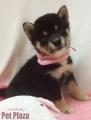 柴犬黒150723-3