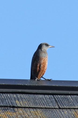 IMG_0431屋根の上の鳥